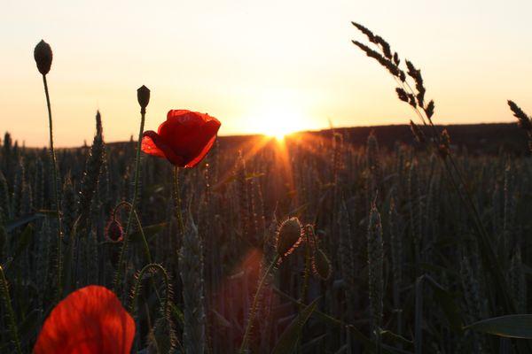 Der Mohn im Feld bei Sonnenuntergang