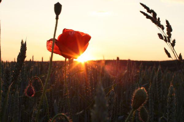 Der Mohn im Feld bei Sonnenuntergang 2