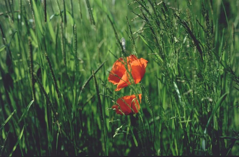 Der Mohn im Gras