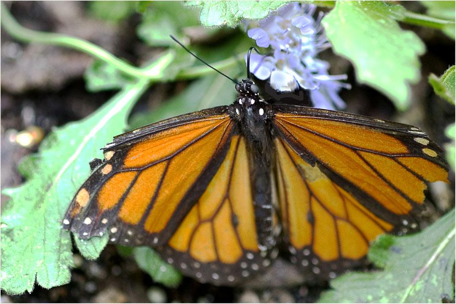 Der Monarch .....