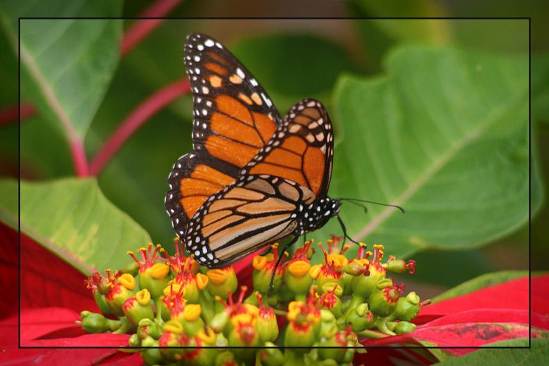 Der Monarch