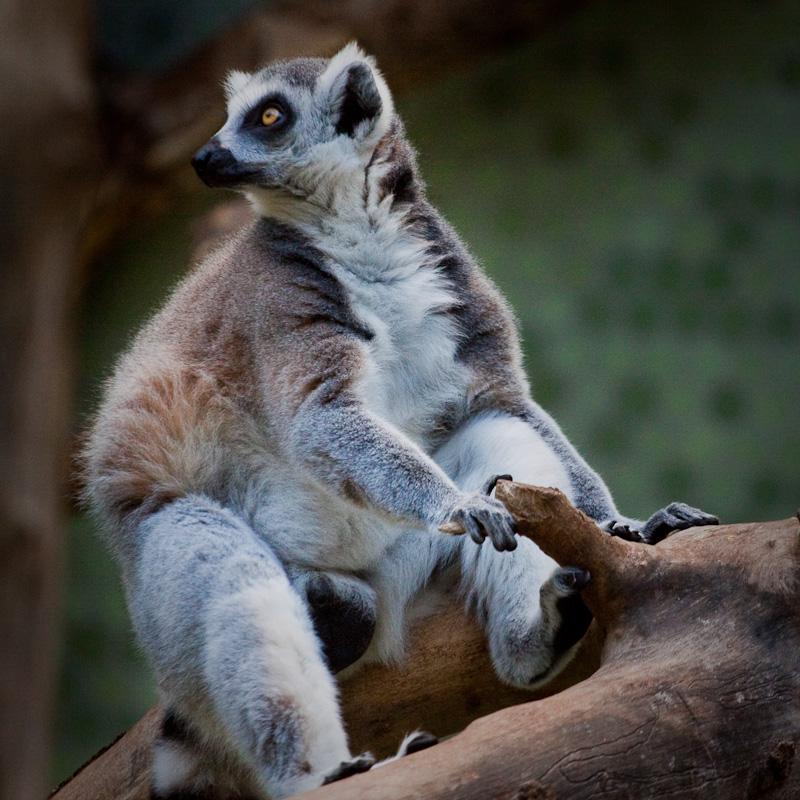 Der Motorradfahrer. Die 259. Fotografie des Katta-Lemuren.
