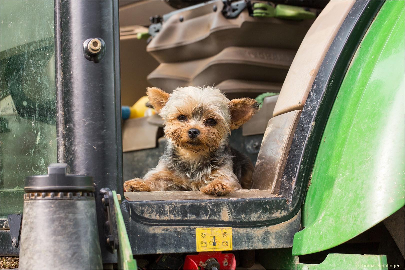 Der müde (Traktor) Hund