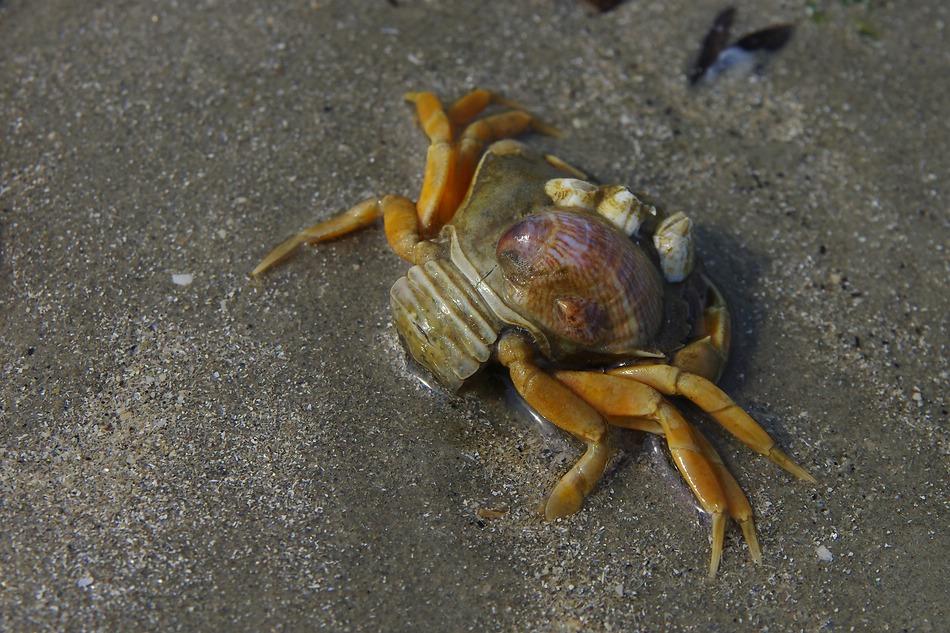 Der Muschelträger