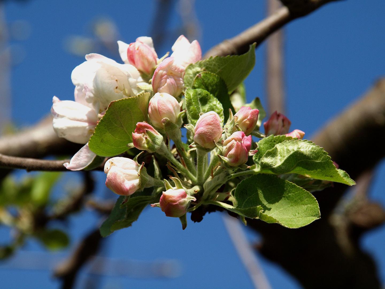 Der nächste Äppler...