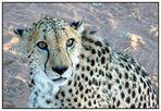 Der nächste Touri der zu mir Leopard sagt wird mein zweites Frühstück!! Klar?