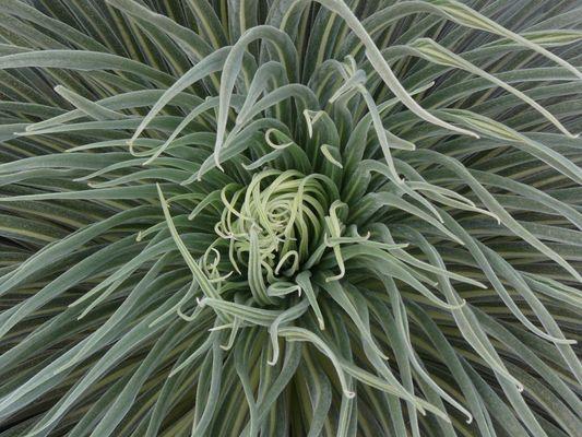 Der Natternkopf - Echium wildpretii