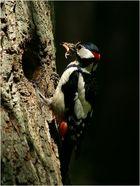 Der Nesträuber - Buntspecht
