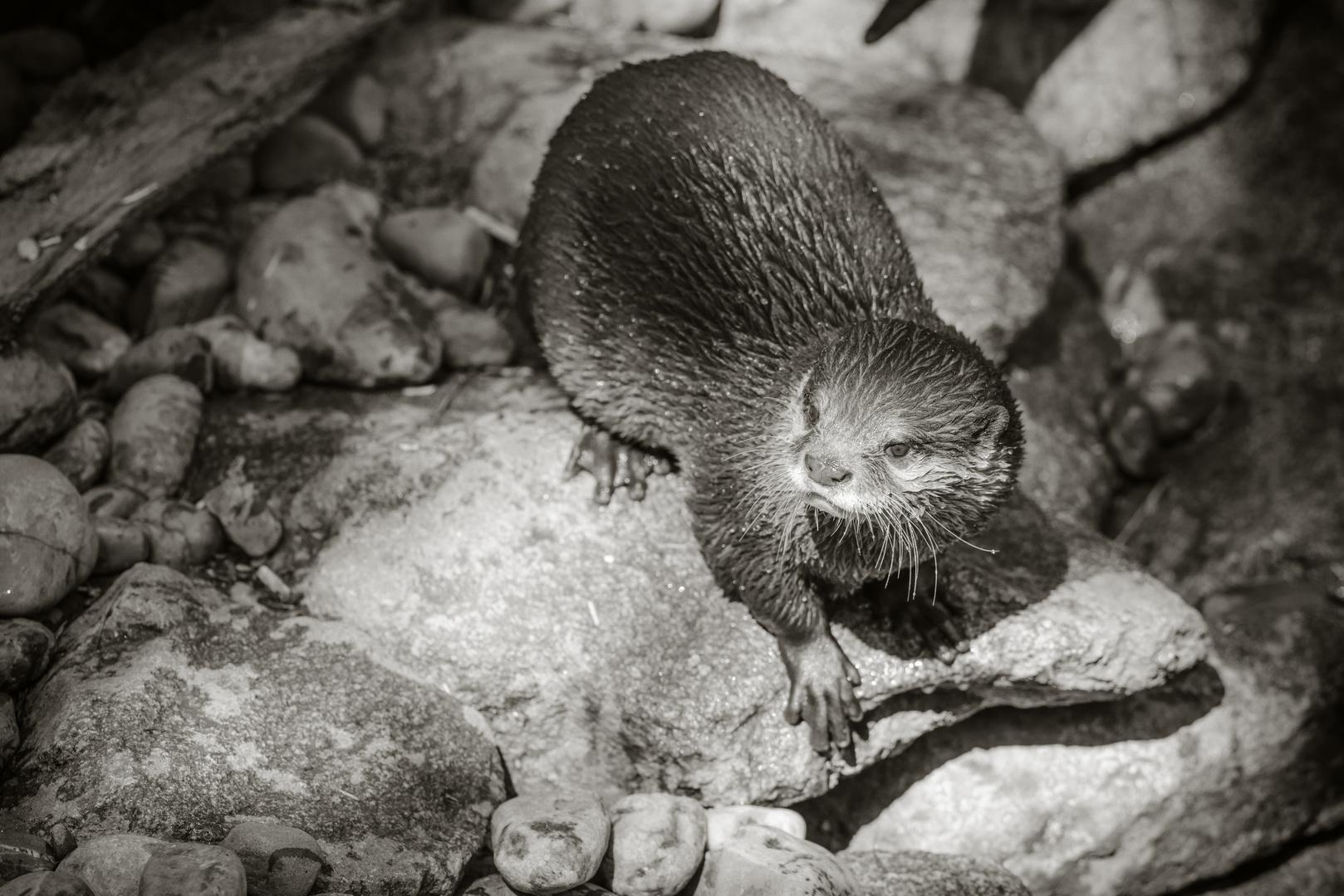 Der Otter II