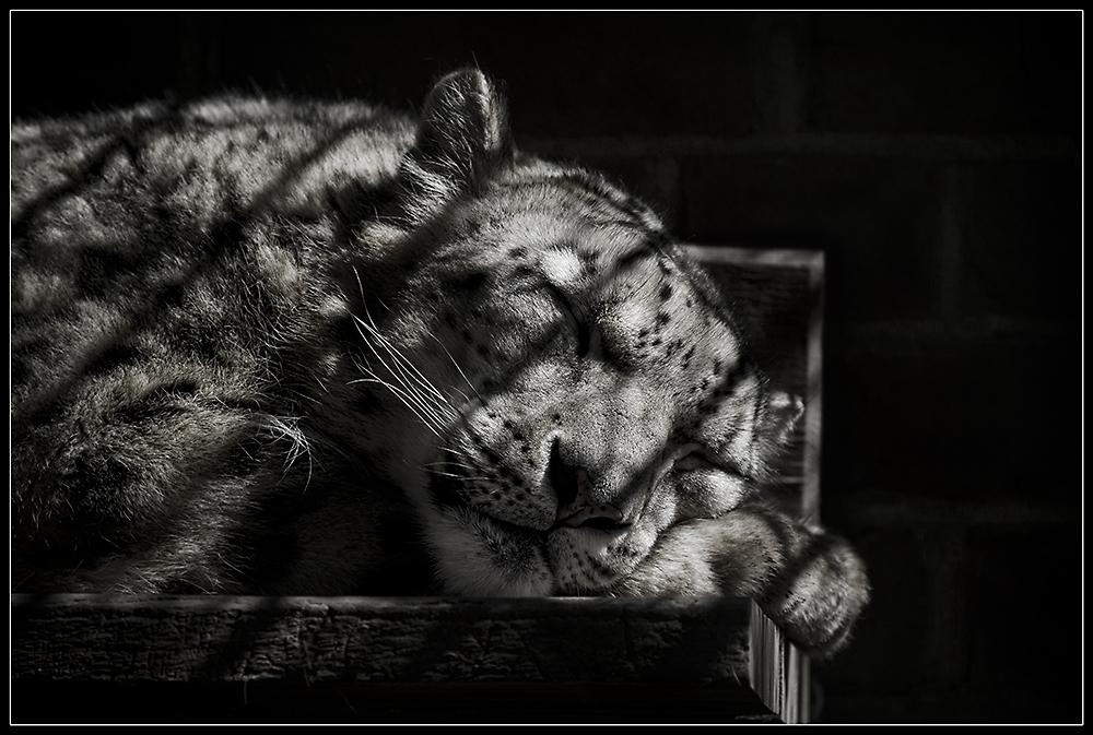 Der Panther (frei nach Rilke)
