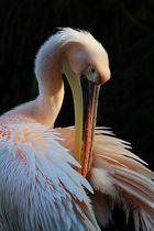 Der Pelikan und sein Körper