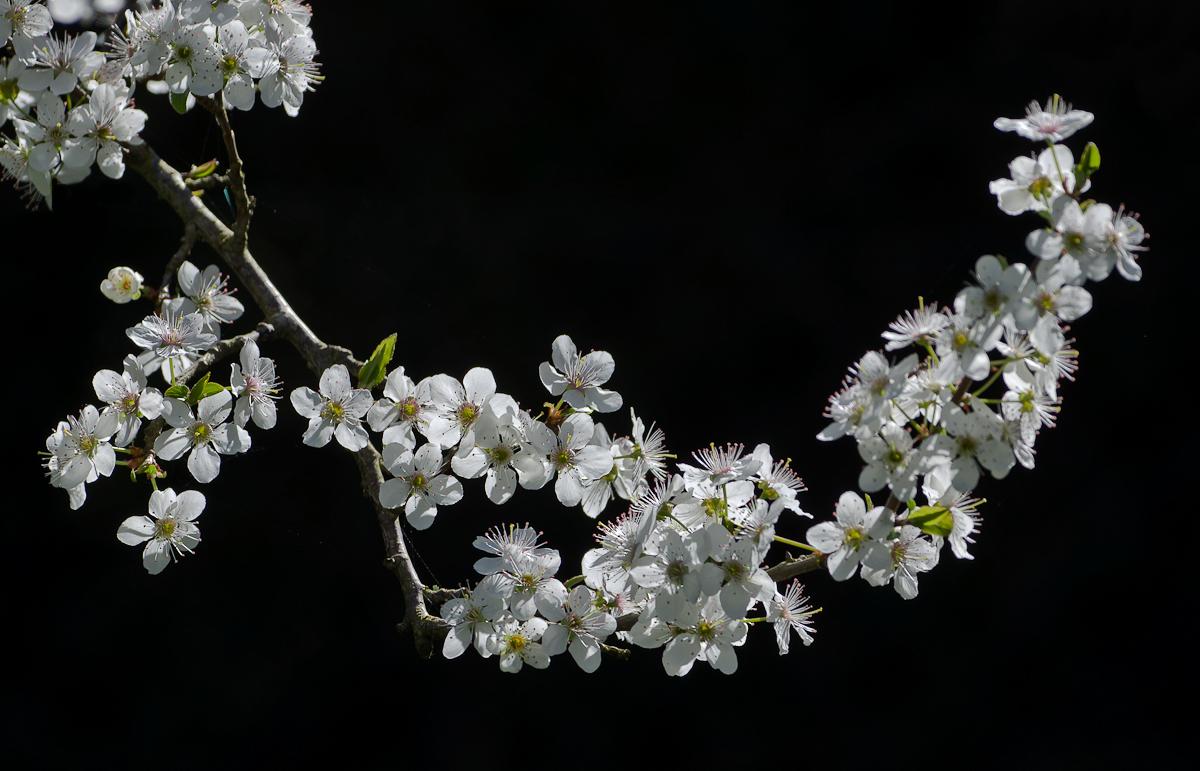 Der Pflaumenbaum...