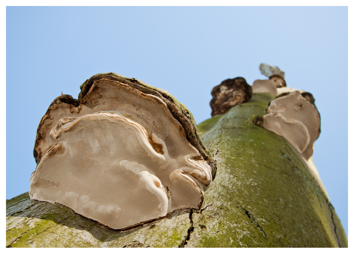 der Pilz am Baum