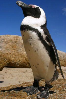Der Ping der Ping Der Pinguin