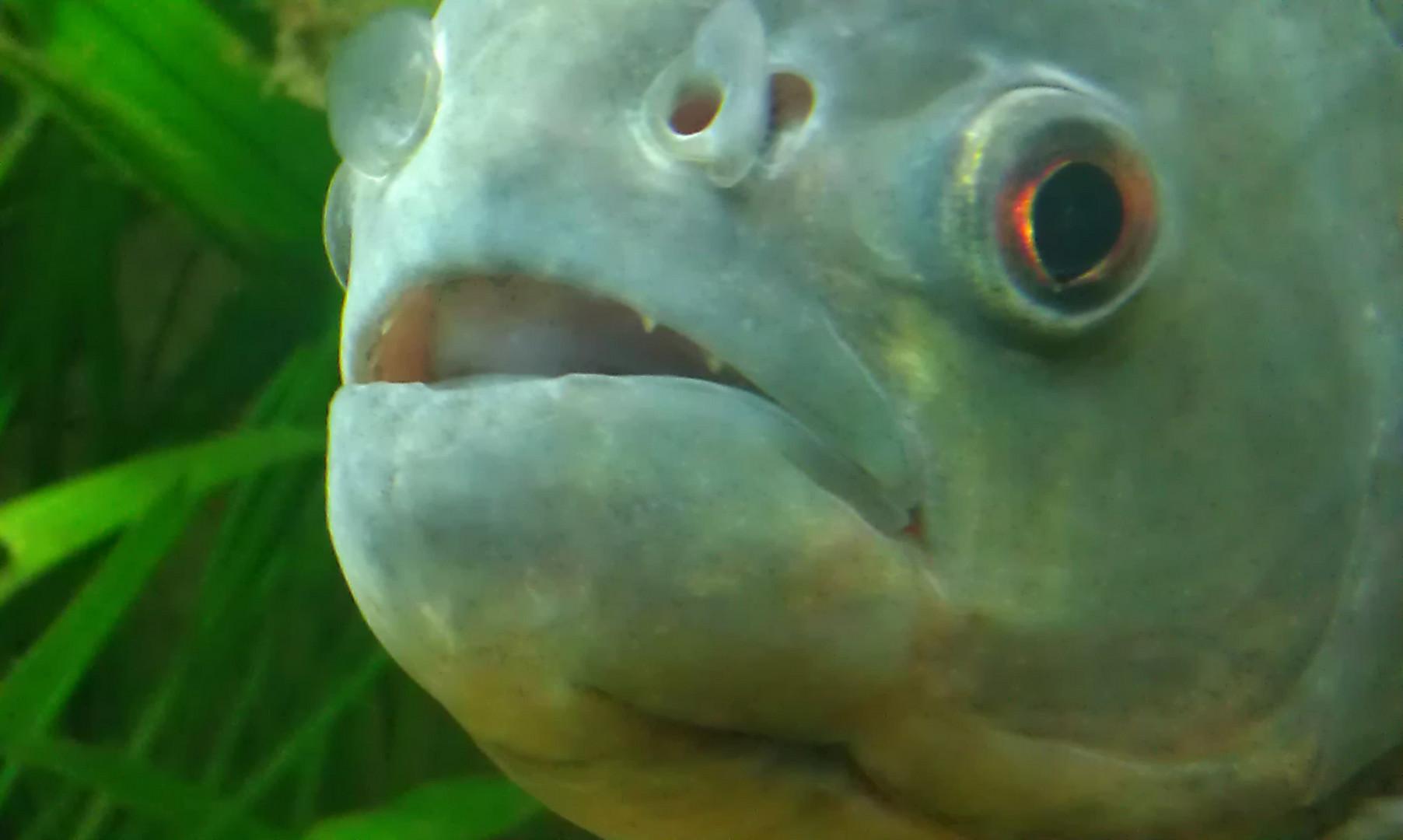 Der Piranha der hat Zähne....