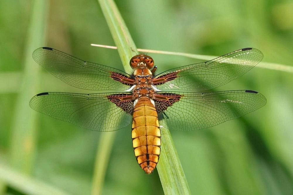 Der Plattbauch [Libellula depressa] - Weibchen
