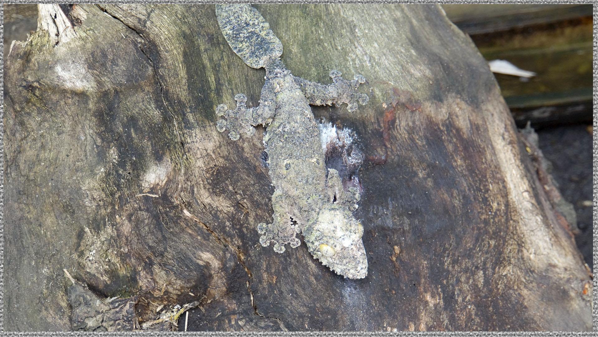 Der Plattschwanzgecko