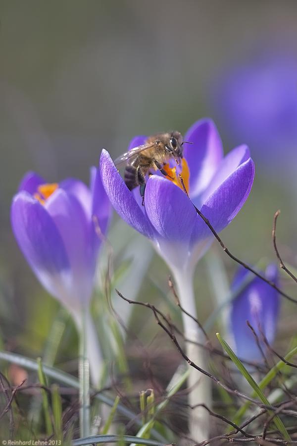 Der Pollenraub