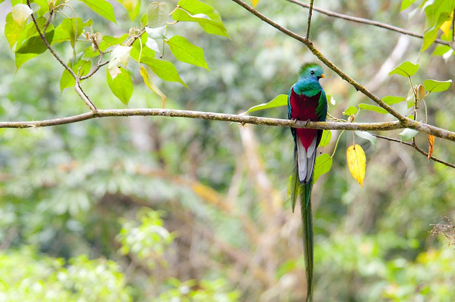 Der Quetzal