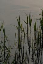 Der Reis in Steinhude