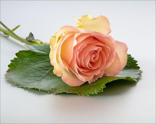 Der Reiz der Rose