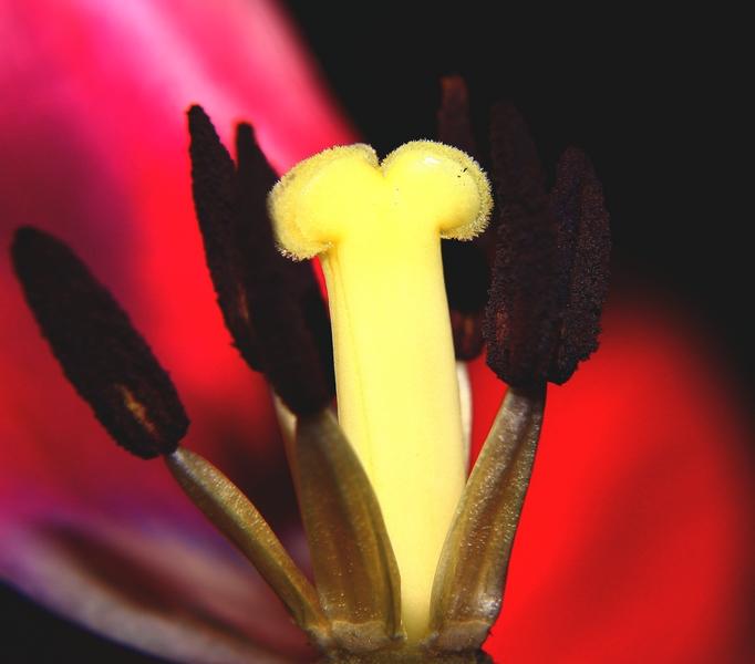 Der Rest einer Tulpe....