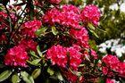 Der Rhododendron wächst über die Mauer aus Nachbars Garten.