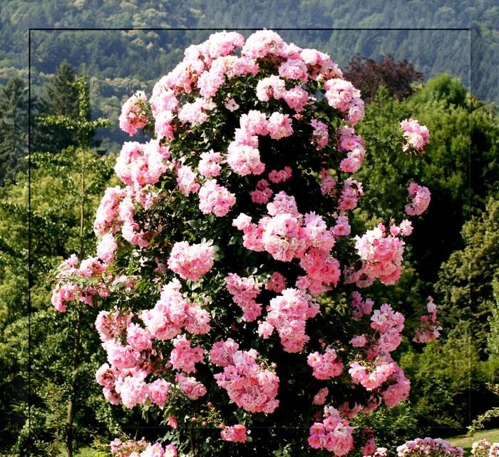 der rosenbaum foto bild pflanzen pilze flechten bl ten kleinpflanzen rosen bilder. Black Bedroom Furniture Sets. Home Design Ideas