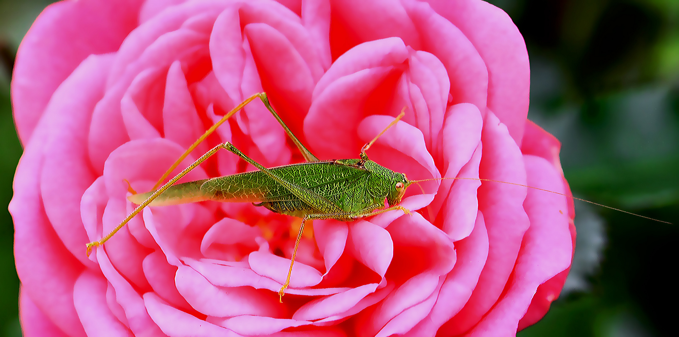 Der Rosenelf...
