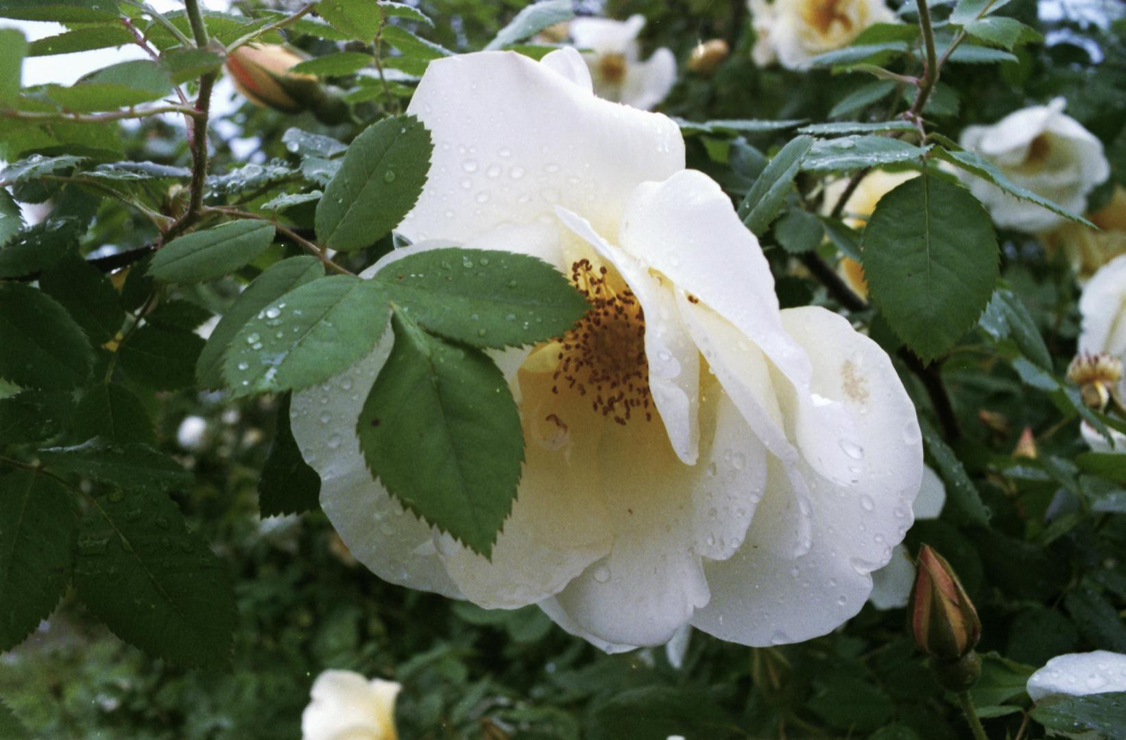 Der Rosenstrauch nach dem Regen