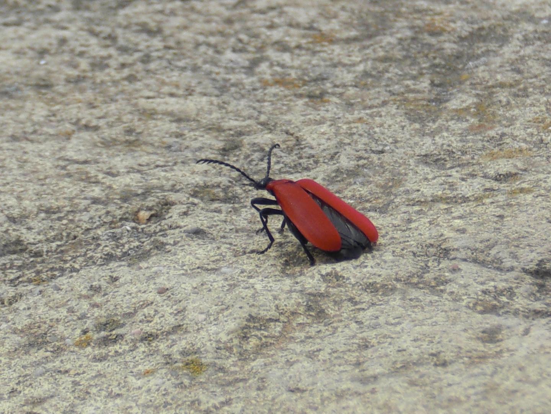 Der rote Käfer