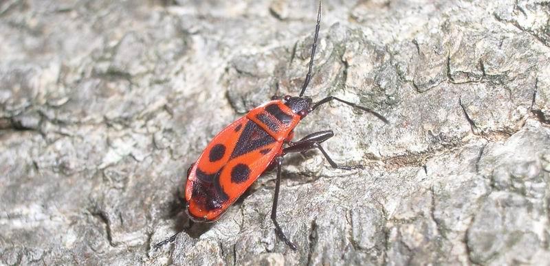 Der rote Käfer KARL