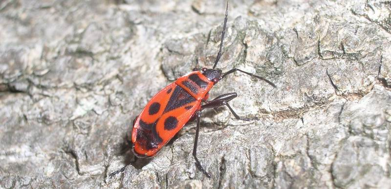 der rote k fer karl foto bild tiere wildlife insekten bilder auf fotocommunity. Black Bedroom Furniture Sets. Home Design Ideas