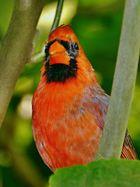 der rote Kardinal 2