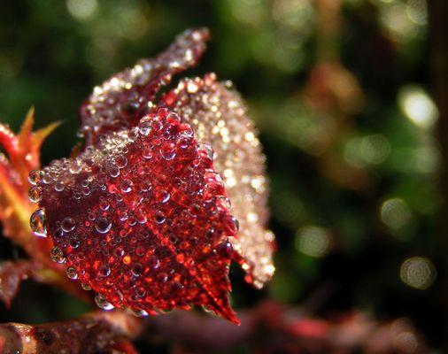 Der rote Morgentau