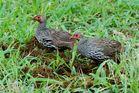 Der Rotkehlfrankolin (Francolinus afer)