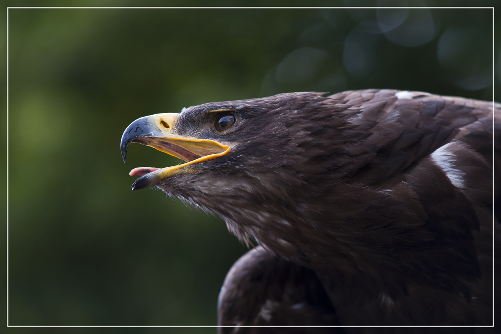 Der Ruf des Adlers