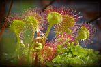 Der Rundblättrige Sonnentau (Drosera rotundifolia)