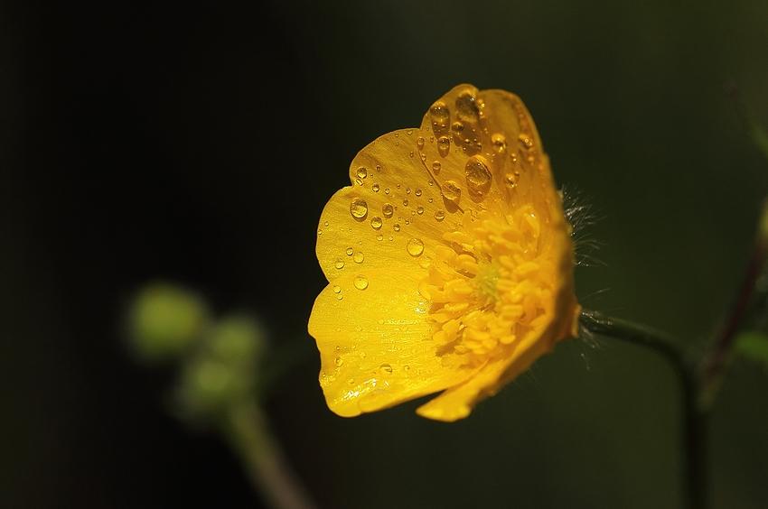 Der Scharfe Hahnenfuß (Ranunculus acris) - Nach dem Regen