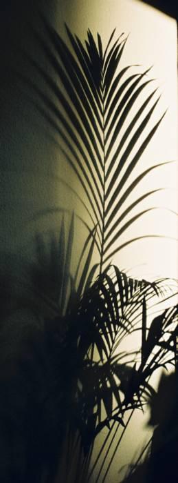 Der Schatten einer Kentiapalme