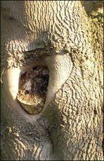 Der Schimpanse guckt mal aus dem Baum raus
