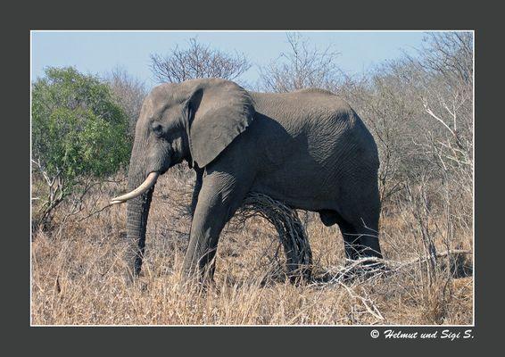 Der schlafende Elefant, Krüger NP