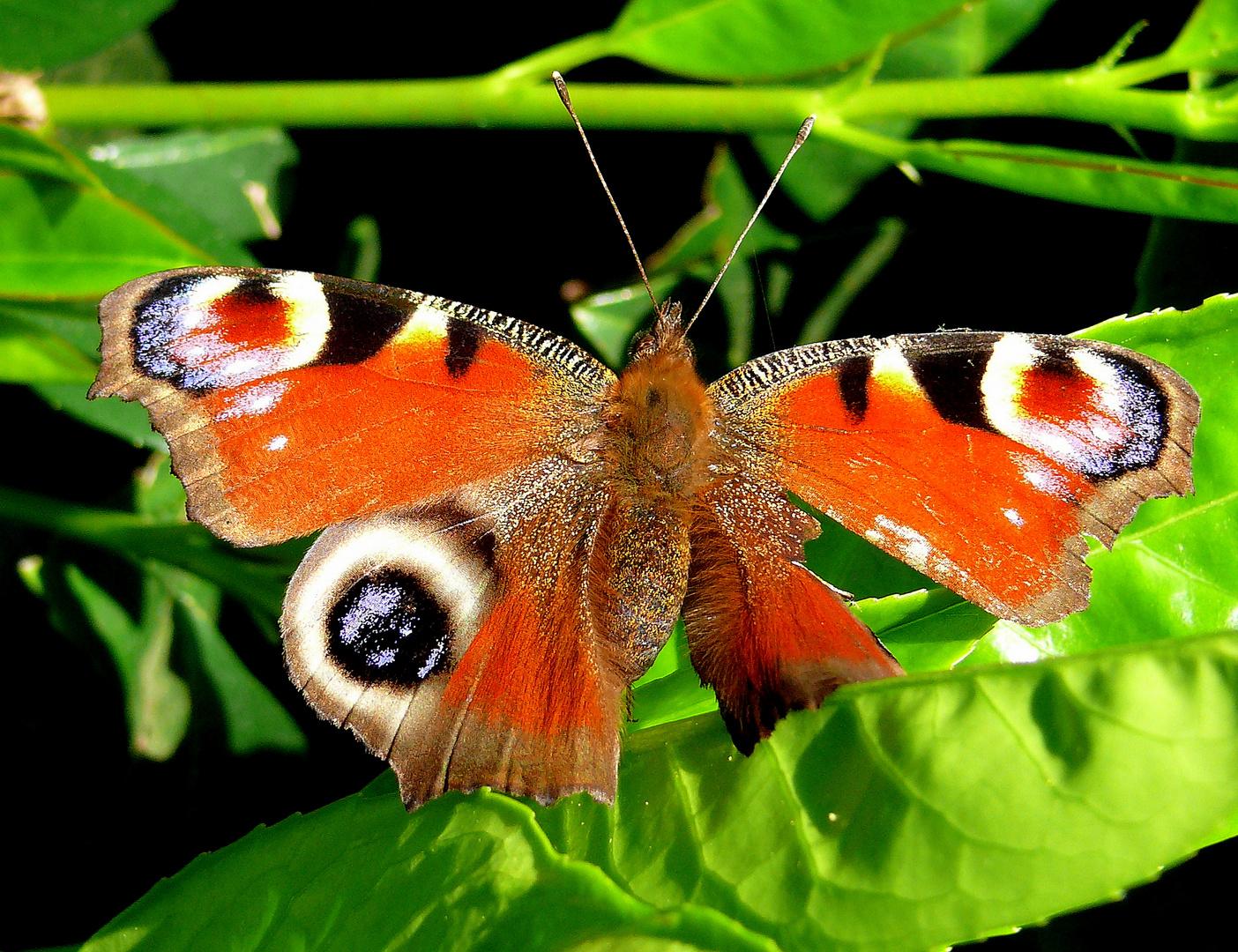 Der Schmetterling...