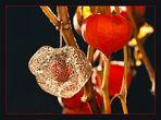 """Der """"schöne Herbst-Tod"""" der Lampionsblume"""