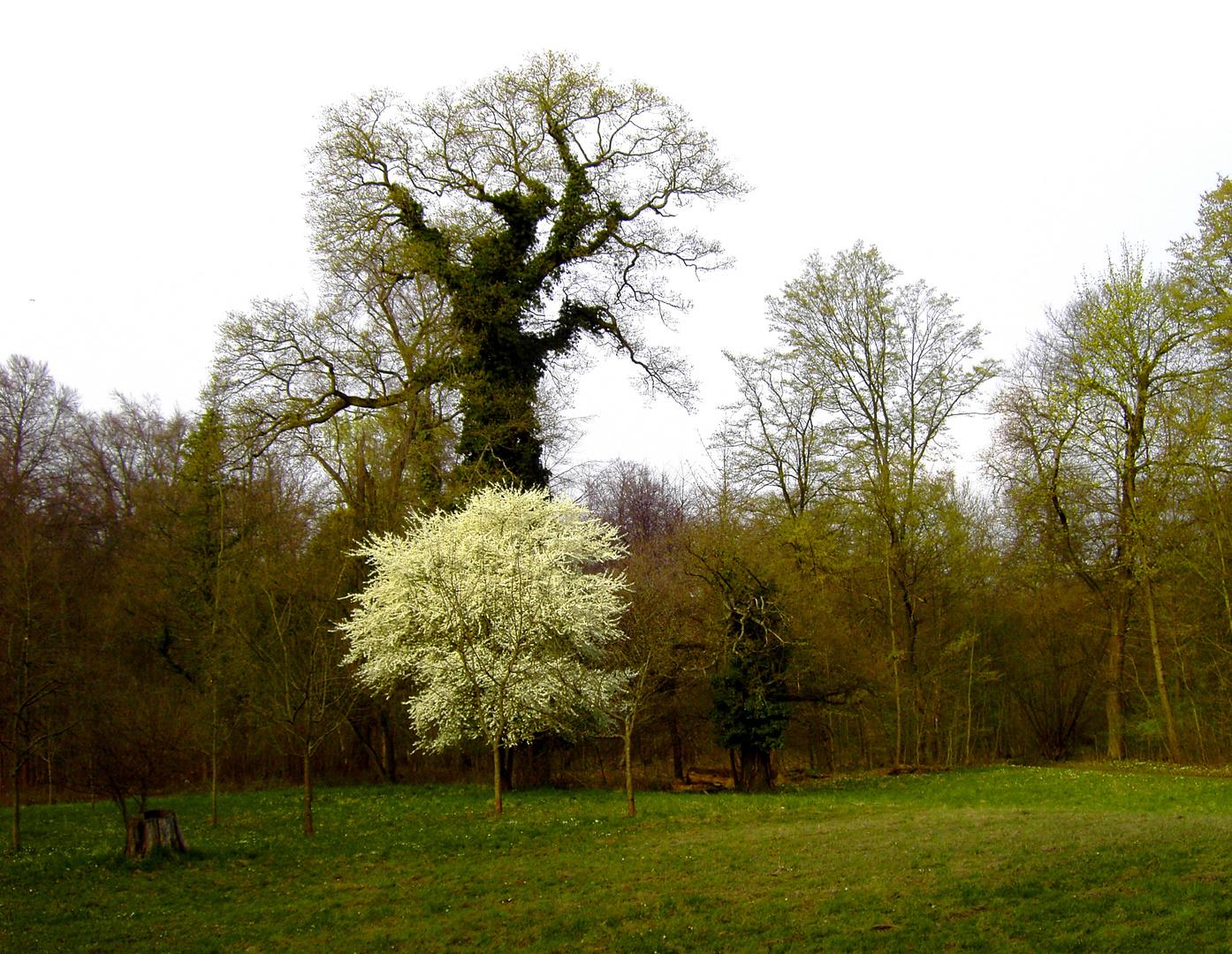 der Schönste unter diesen Bäumen