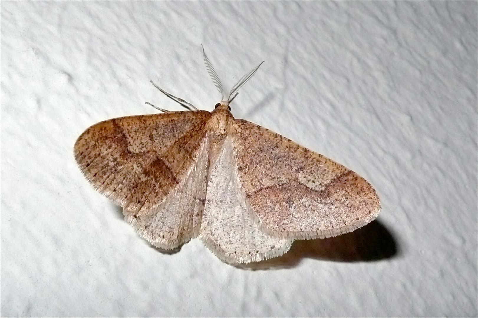 Der schon ab Februar fliegende Spanner Erannis marginaria, . . .
