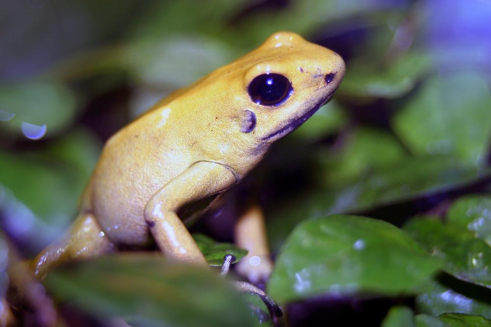 Der Schreckliche Pfeilgiftfrosch (Phyllobates terribilis)