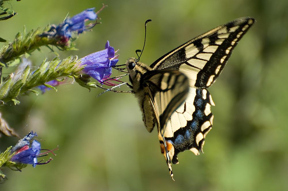 Der Schwalbenschwanz (Papilio machaon)...