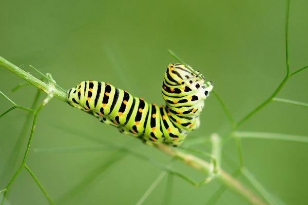 Der Schwalbenschwanz (Papilio machaon) - Raupe