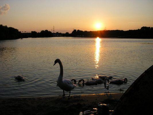 der Schwan am Frühlingersee